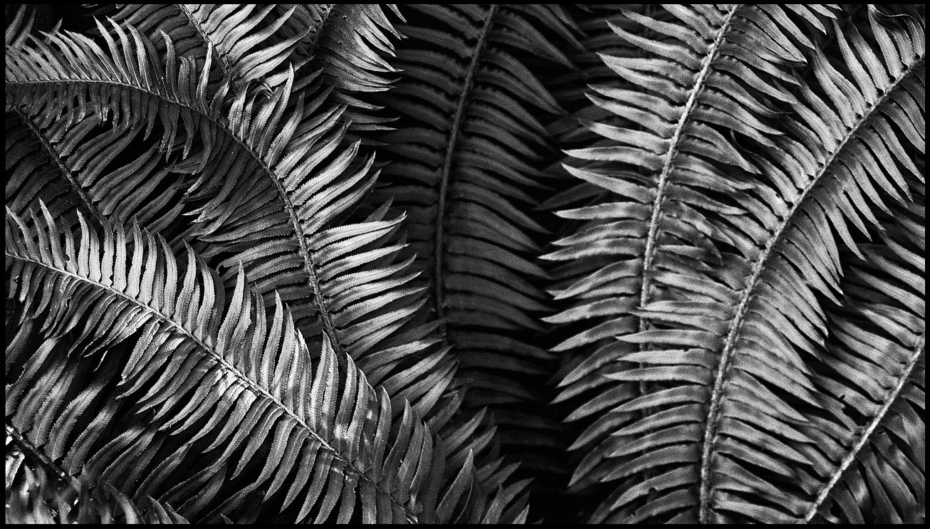 DSCF3542desat Anne's Ferns-Edit copy by Jim Friesen
