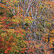 Beech & Fall Foliage by Wayne Mazorow