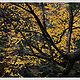 Yellow Birch, Autumn by Wayne Mazorow
