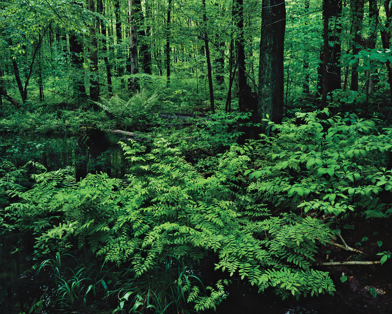 Hemlock Swamp, Revisited by Wayne Mazorow