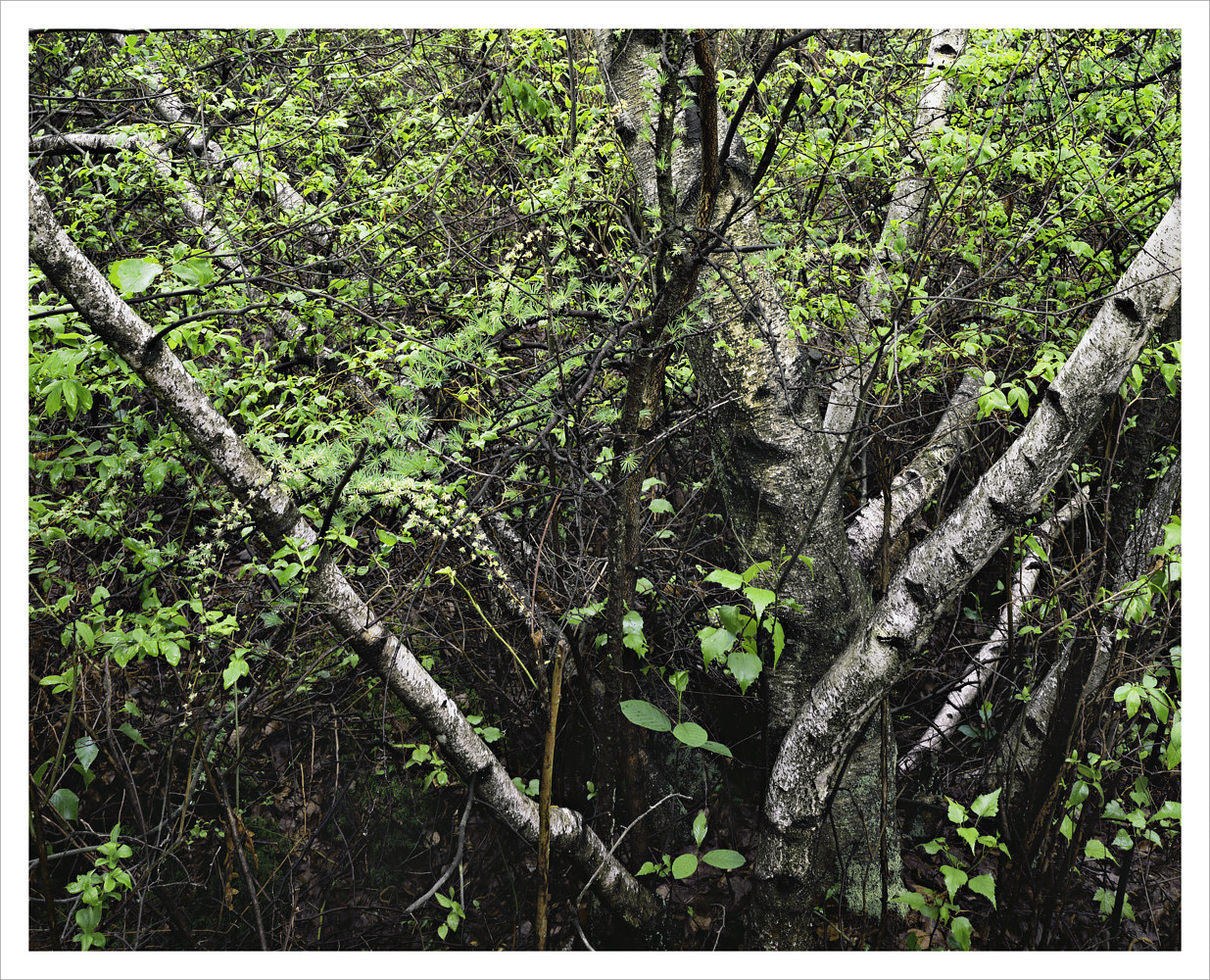 Gray Birch, Spring by Wayne Mazorow