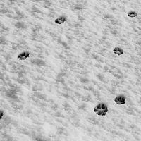 """Coyote Prints, Juvenile with Adult"" by Hunter Madsen"