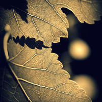 Fig Leaves by Stuart Diekmeyer
