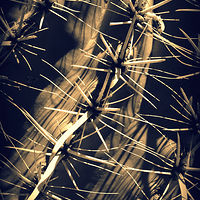 Saguaro Spines by Stuart Diekmeyer