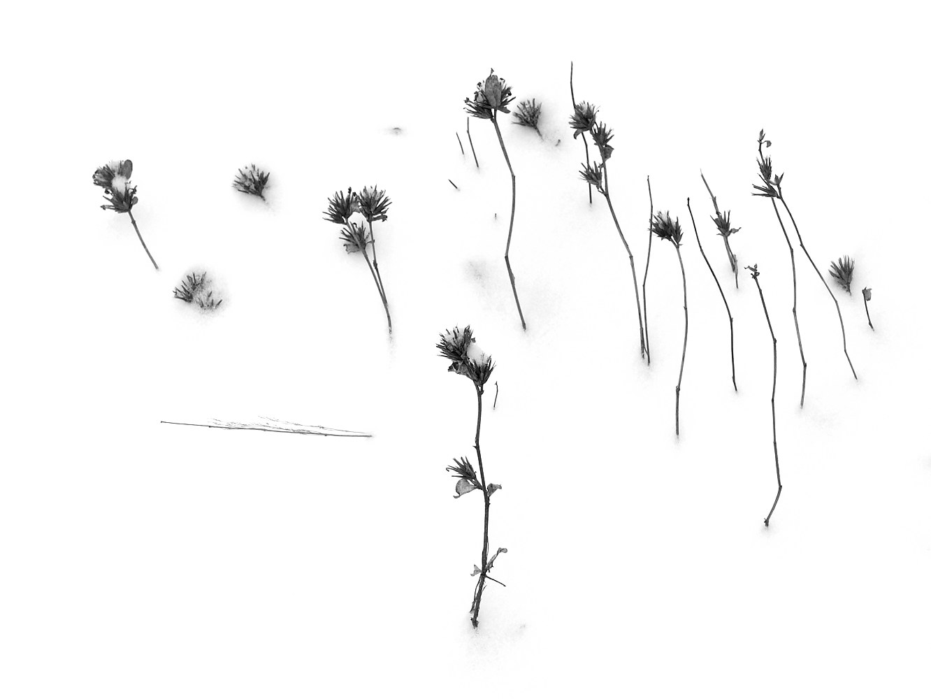 Snow Weeds 4 by Stuart Diekmeyer