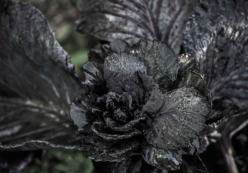 """Black Cabbage in Morning Dew"" by Hunter Madsen"