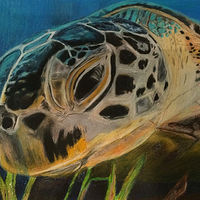 Drawing Loggerhead by Steve Latimer