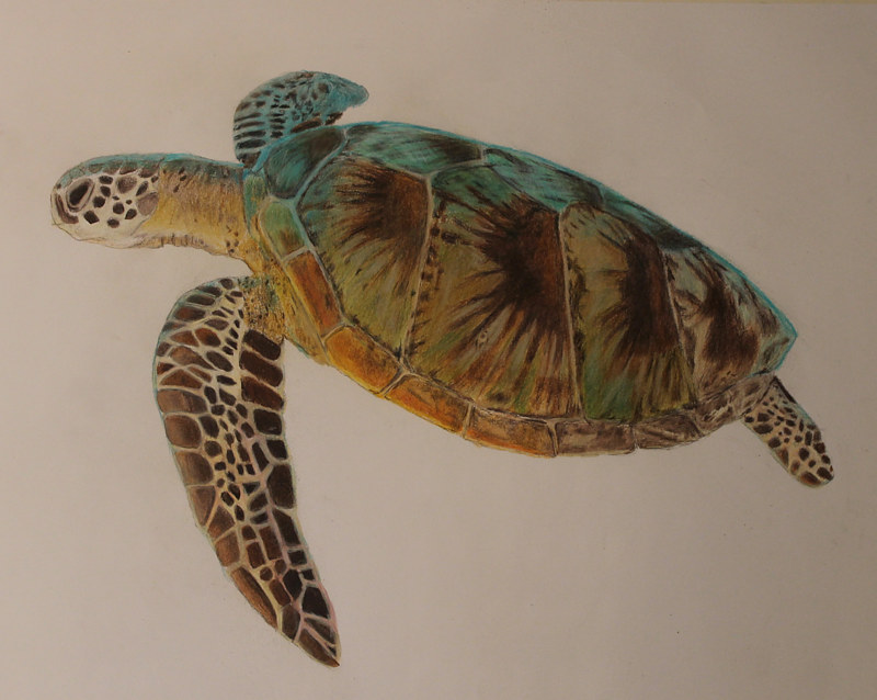 Drawing Loggerhead Two by Steve Latimer