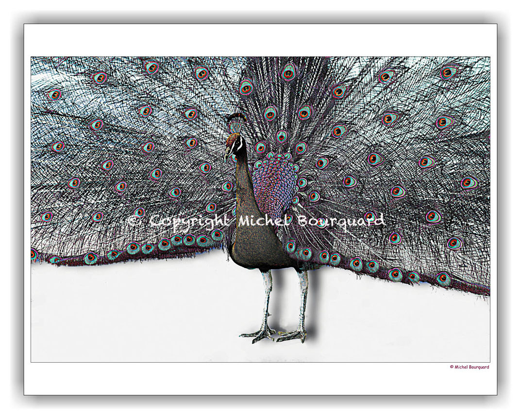 Peacock with 1000 eyes by Michel Bourquard