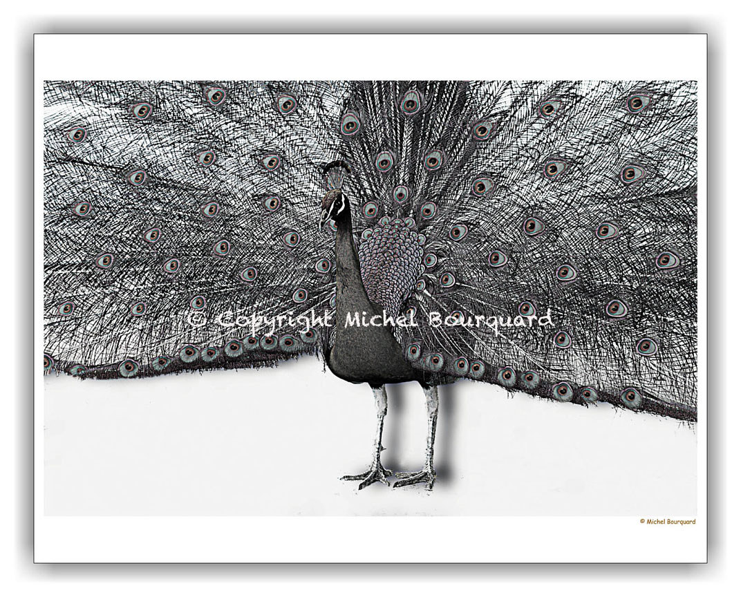 Peacock with 1000 eyes bw by Michel Bourquard