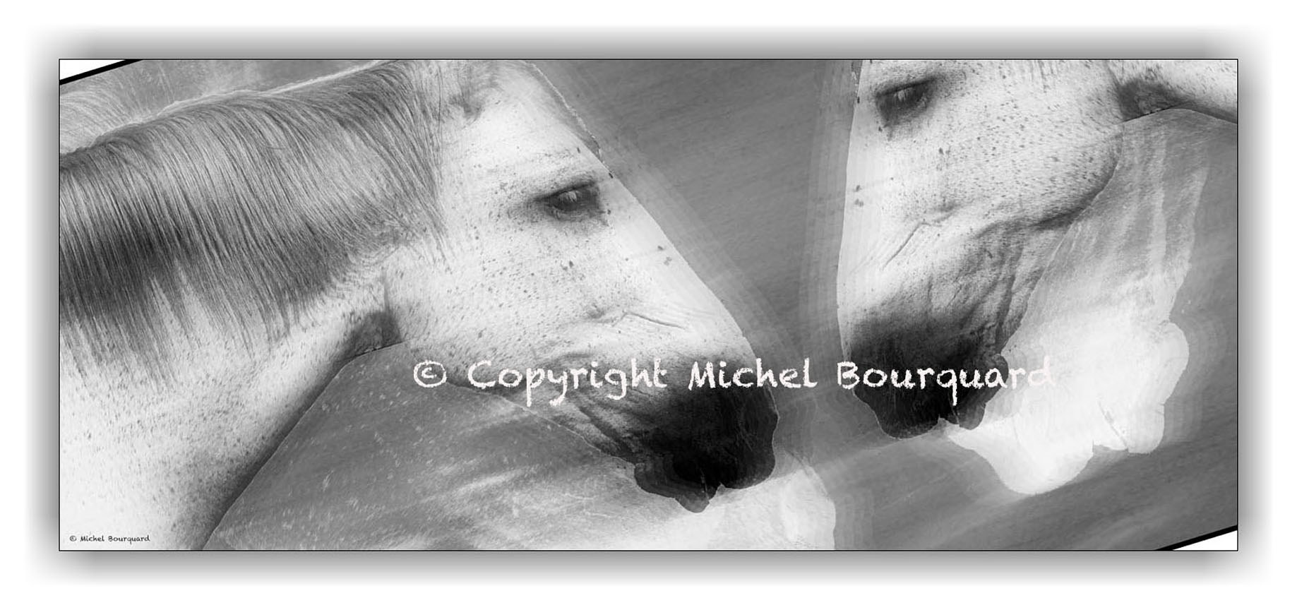 2 Two whites horses running by Michel Bourquard