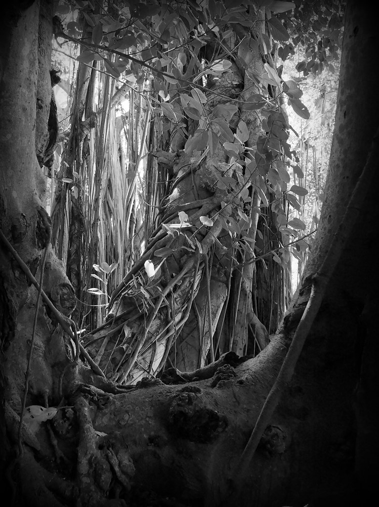 Photography Banyan Trees 4 (2017) by Scott Ross