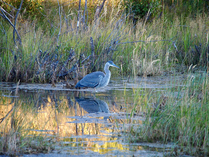 Tetons Heron by Ann Williams
