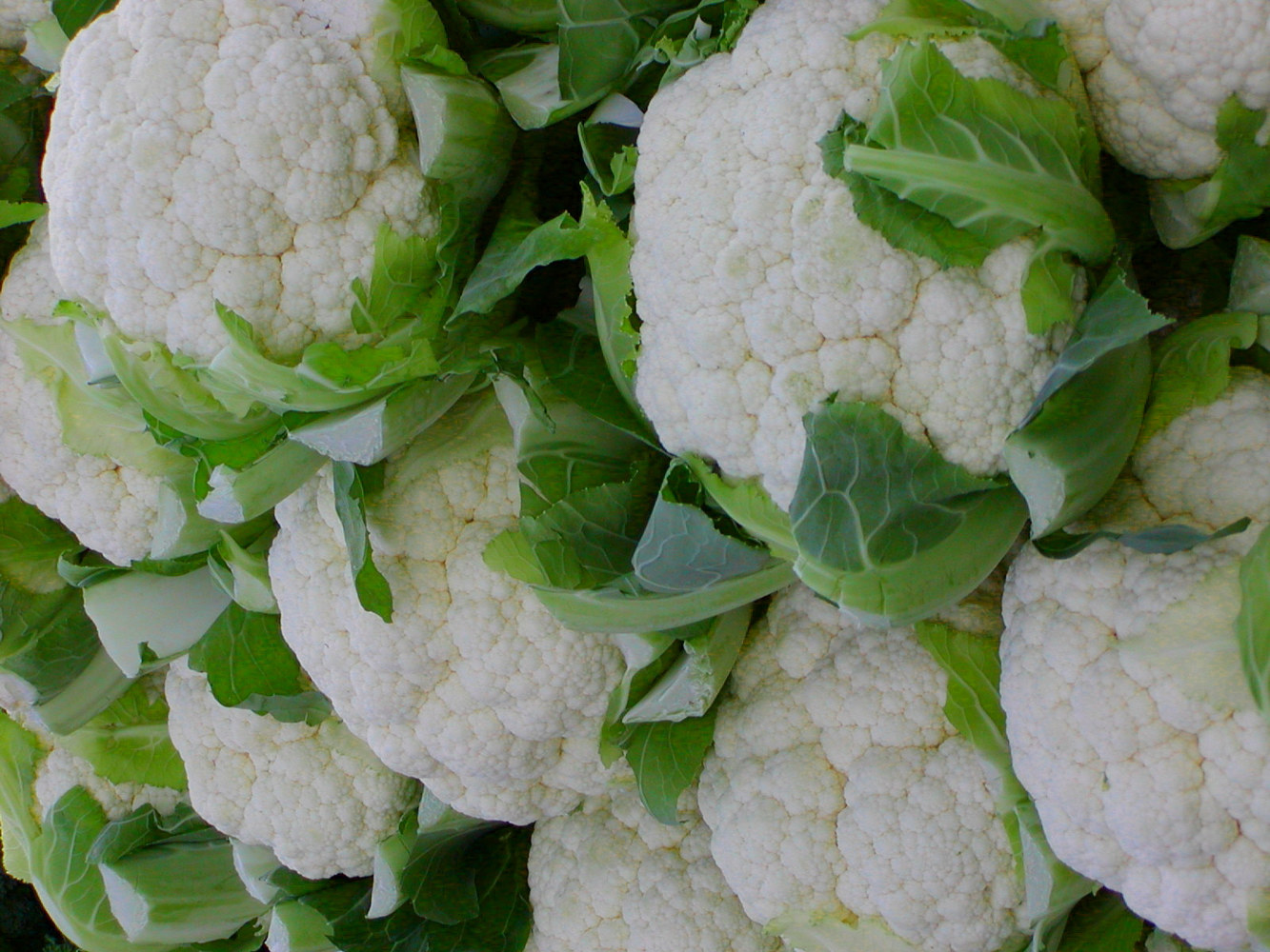 FM Cauliflower by Linnie (Victoria) Aikens Lindsay