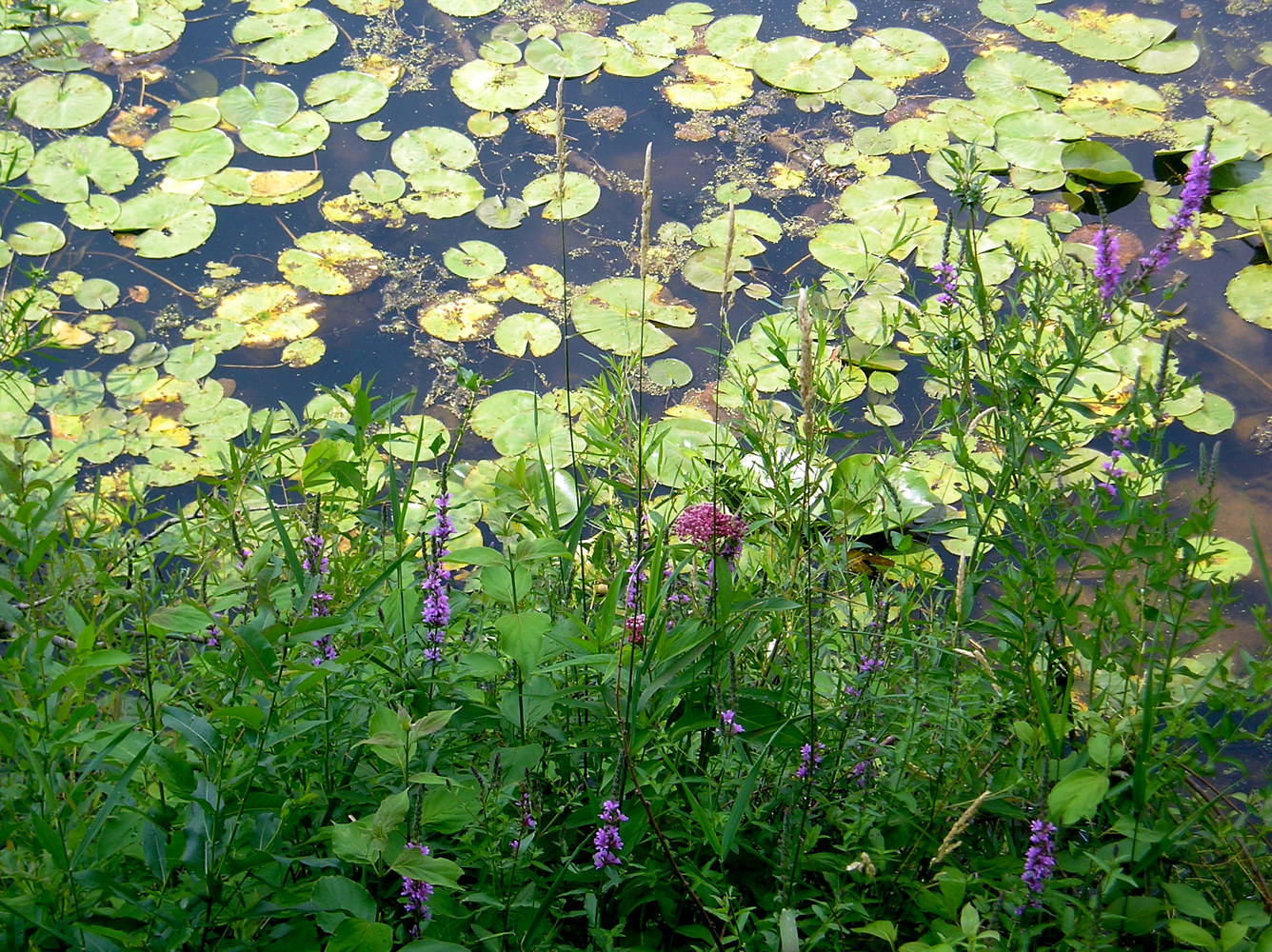 GratiotLillypads by Linnie (Victoria) Aikens Lindsay