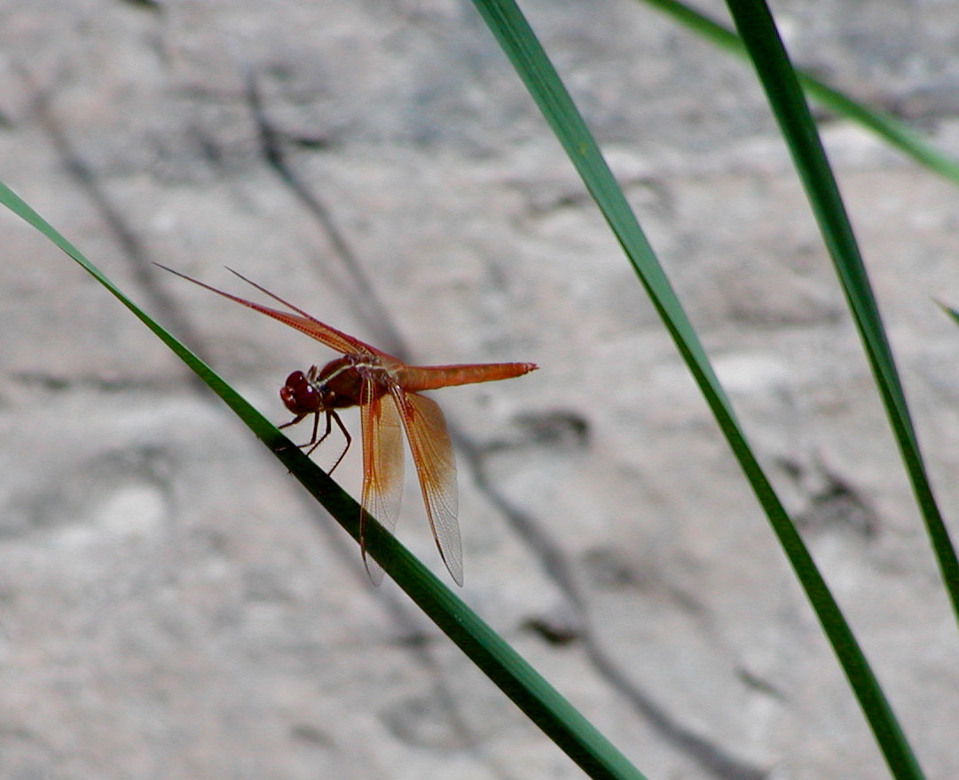 Zion Nat'l Park—River Walk Dragon Fly by Linnie (Victoria) Aikens Lindsay