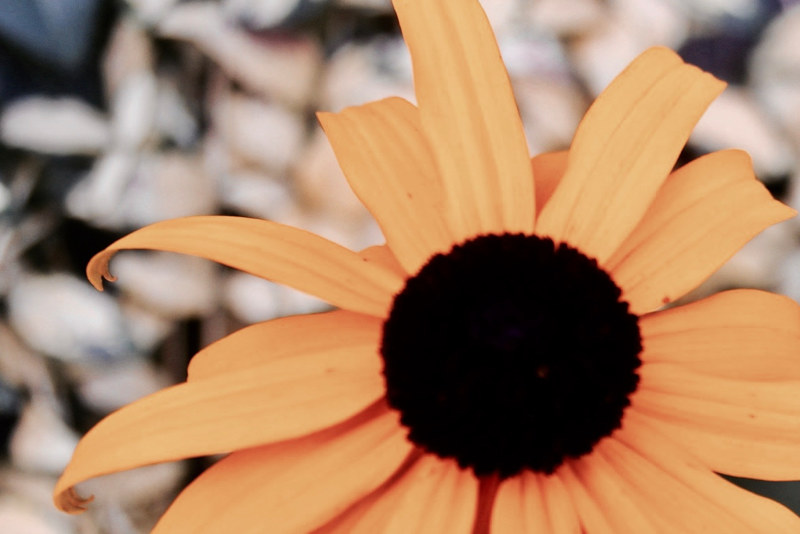 Black-eyed Susan by Jose Londono