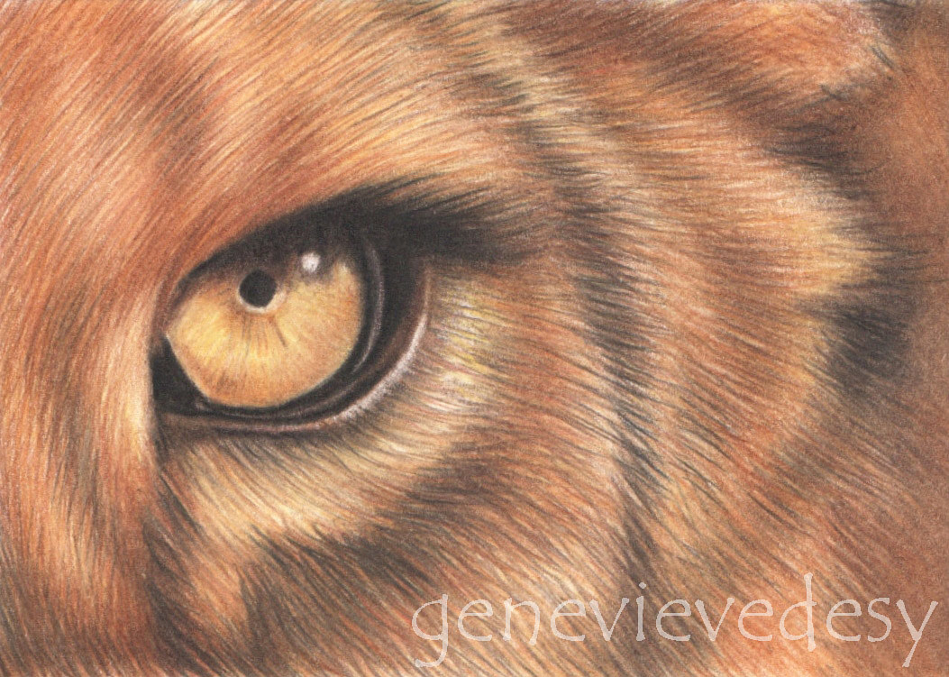 Dessin miniature ACEO - Lion, 2016 by Genevieve Desy