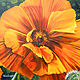Oh! Orange Poppy by Terry Joseph