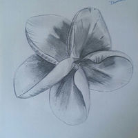 Drawing Plumeria Flower by Matt Kantor