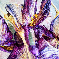 Photography Death of an Iris by Jacqueline Bell johnson
