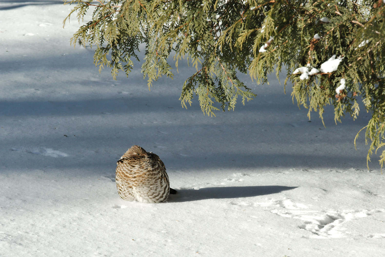 Ruffed Grouse Sunning In The Snow On a Very Cold Day by Marc Brisson