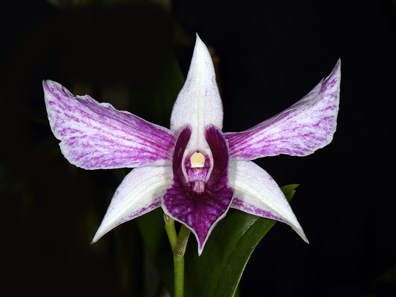 Dendrobium Angel Wings-DRR_5094 by Richard  Ashby