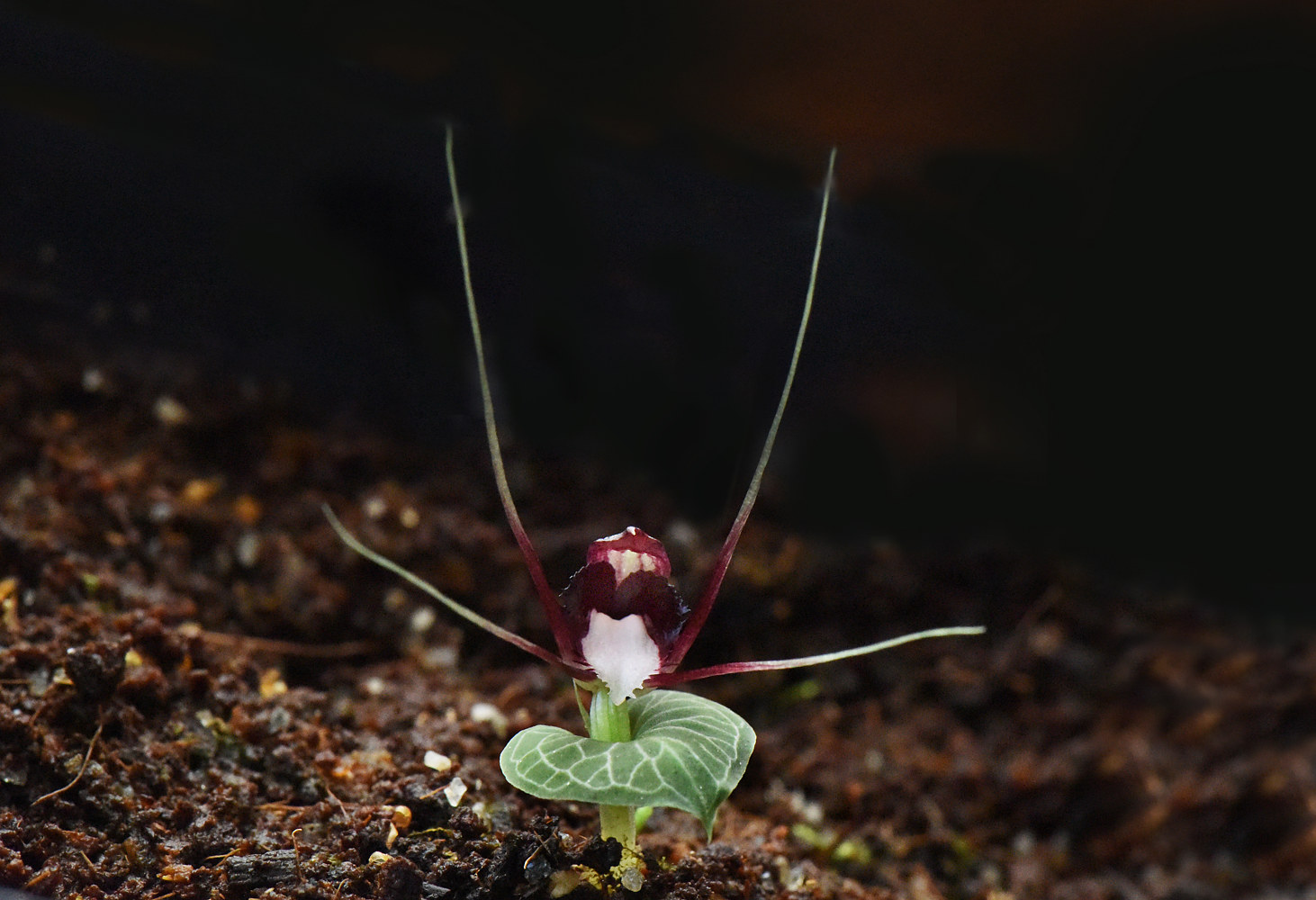 Corybas gemminigibbas-DRR_5390 by Richard  Ashby