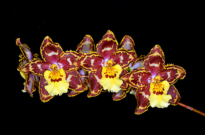 Tolumnia-hybrid-(Orchidaceae)--Ocdm-Tiger-Hambuhren-x-Onc-Jubilee-Volunteer by Richard  Ashby