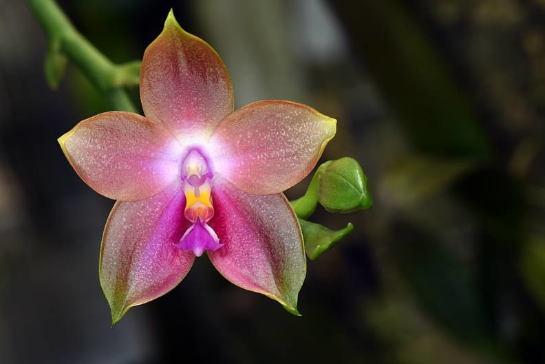 Phaleanopsis violacea-DRR_2063 by Richard  Ashby