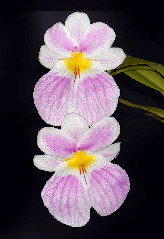Miltoniopsis vexillaria-DRR_4257-copy by Richard  Ashby