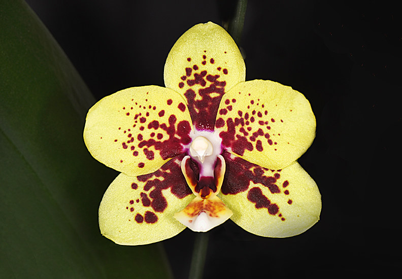 Phalaenopsis Sunhope Eva (Orchidaceae)-DRR_3601-copy by Richard  Ashby