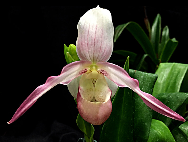 Phragmipedium Calurum ;Millie-IMG_3294-copy by Richard  Ashby