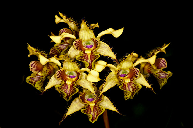 Dendrobium finestera-DRR_1245-copy by Richard  Ashby