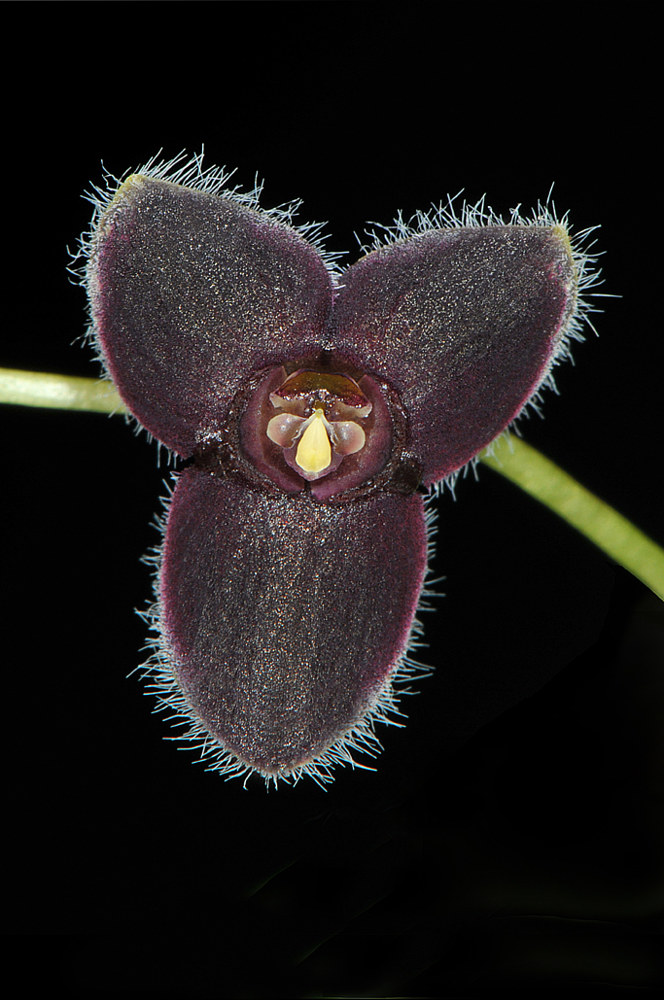 Stelis-ciliolata-NSC_10067- by Richard  Ashby