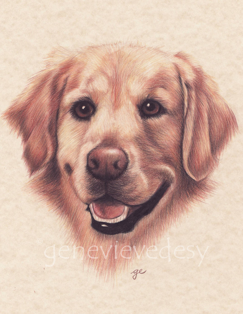 Dessin de Golden Retriever, 2000 by Genevieve Desy