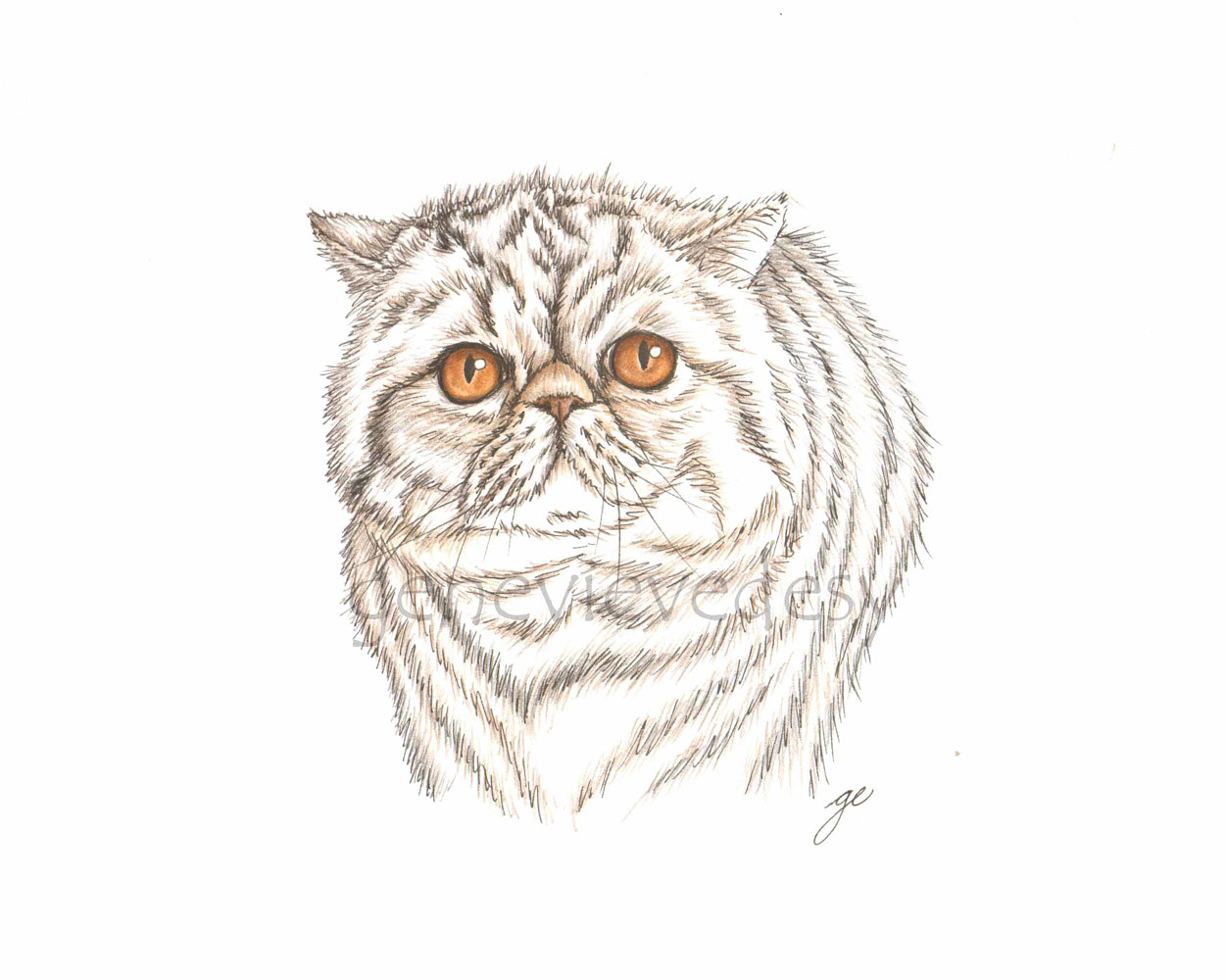 Dessin de chat Exotic Shorthair, 2018 by Genevieve Desy