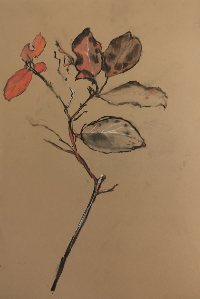 Drawing salal by Kate Scoones