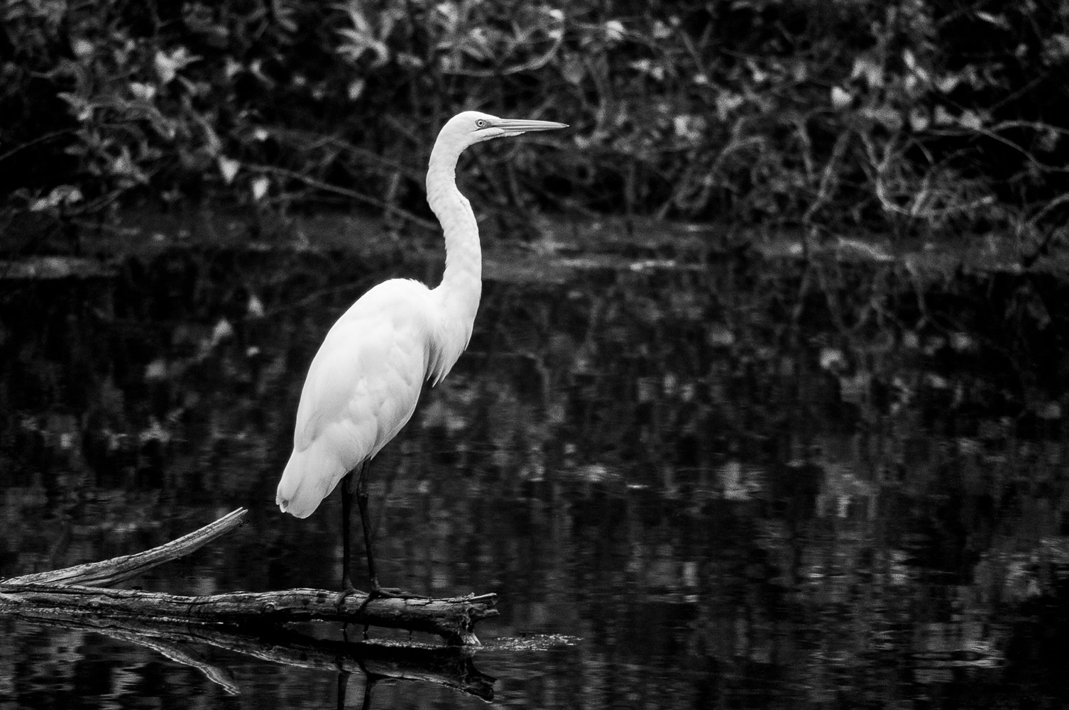 Great Egret - Six Mile Cypress (WL13_3417BW) by Gary Jones