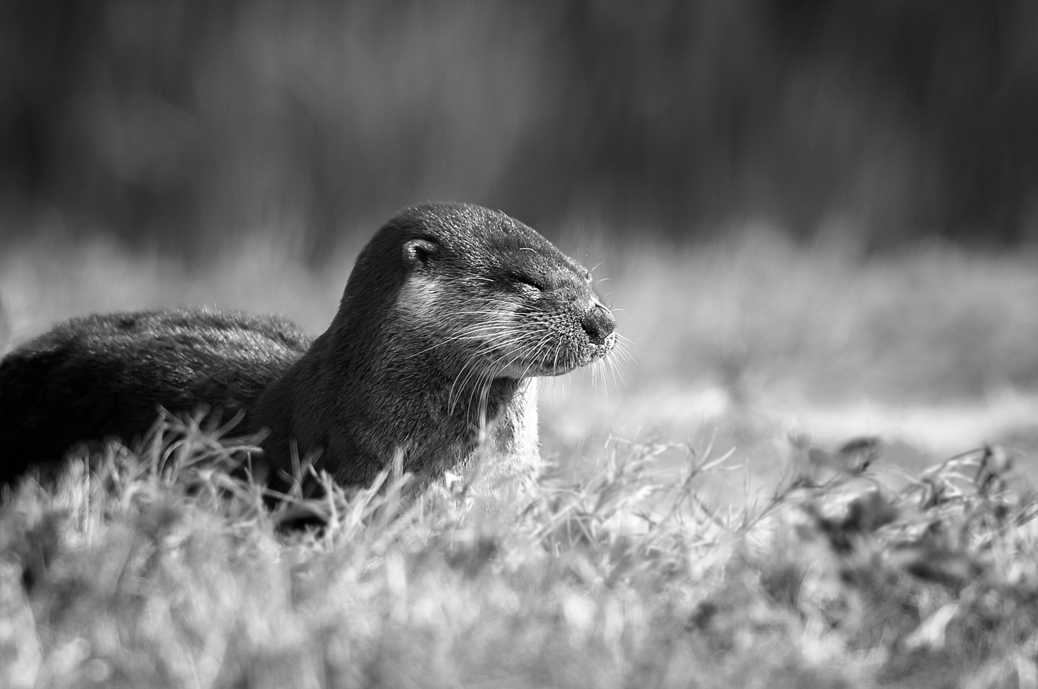 Otter on Path (WL14_3854BW) by Gary Jones
