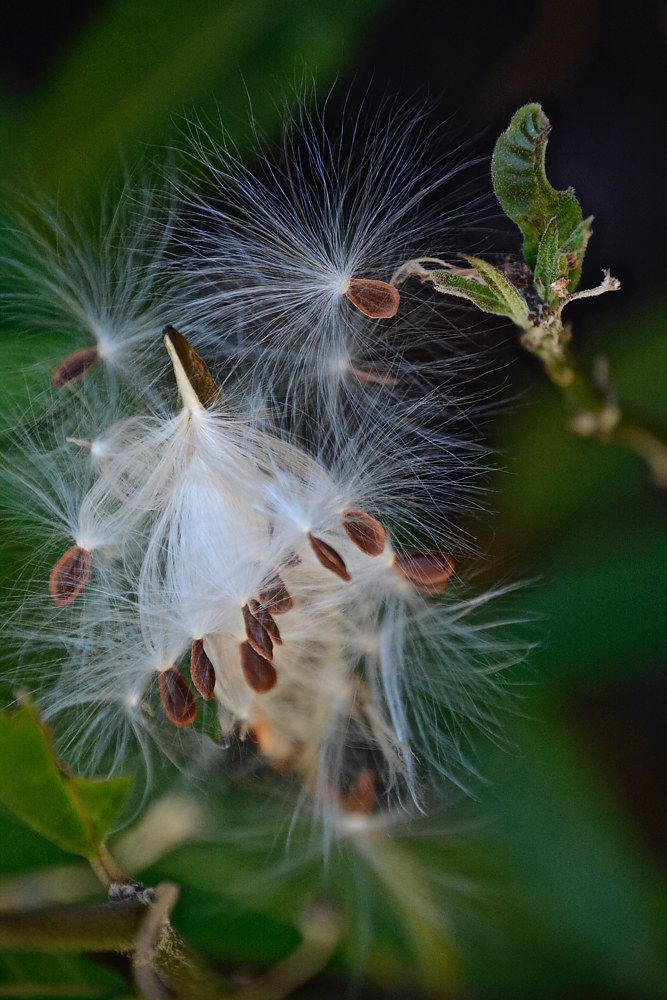 MILKWEED SEEDS READY TO FLY by Joeann Edmonds-Matthew