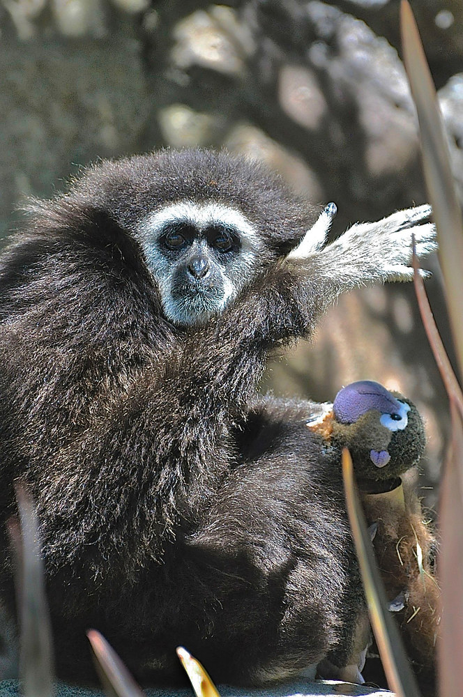 WHITE HANDED GIBBON WITH DOLL by Joeann Edmonds-Matthew