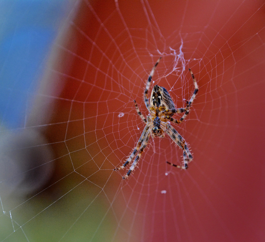 SPIDER WEAVING HIS TRAP by Joeann Edmonds-Matthew