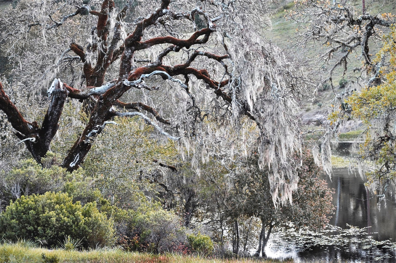 SPRING OAKS by Joeann Edmonds-Matthew