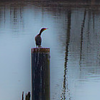 """Cormorant"" by Hunter Madsen"
