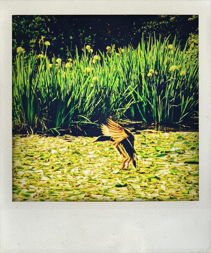 Duck flying over a pond- Pola collection by Michel Bourquard