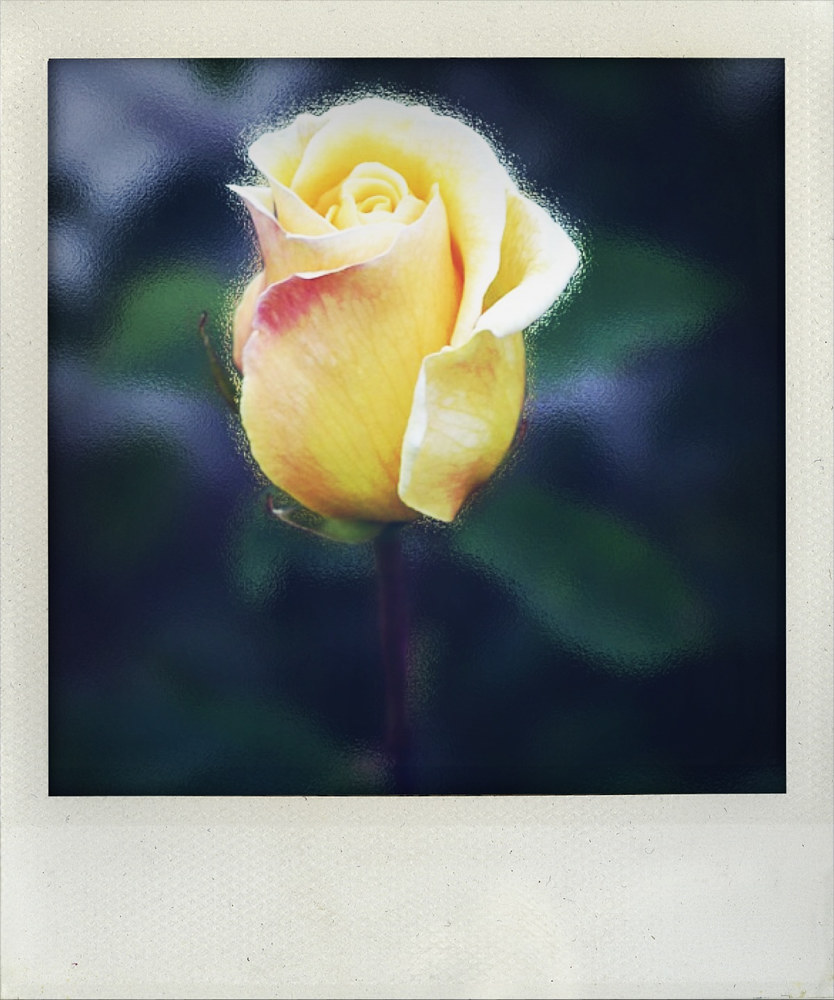 Yellow rose by Michel Bourquard