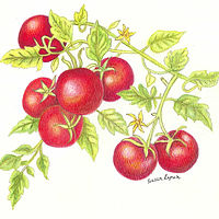 Cherry tomatoes by Susan Lynch