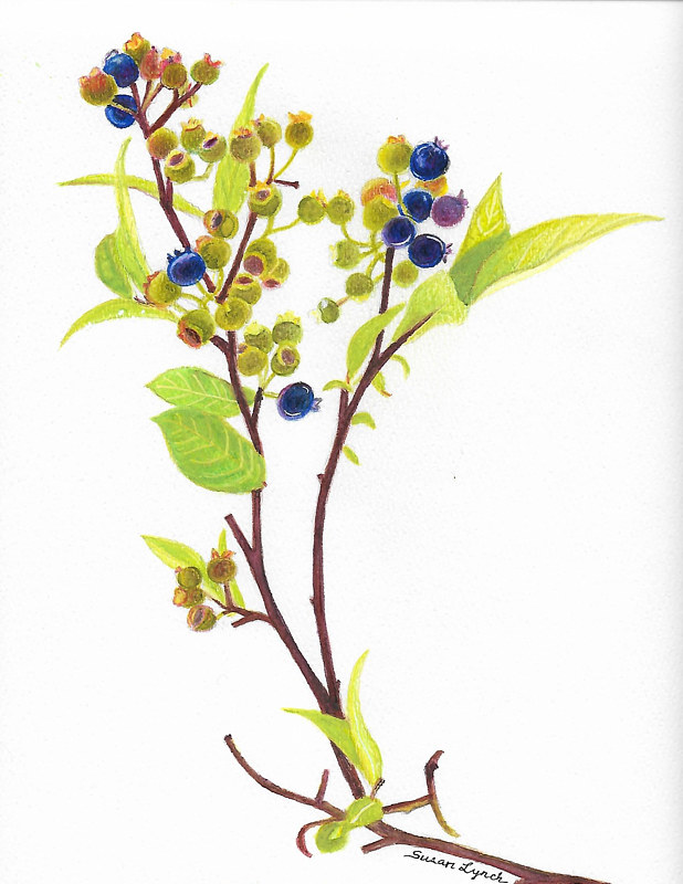 Blueberry Stalk by Susan Lynch