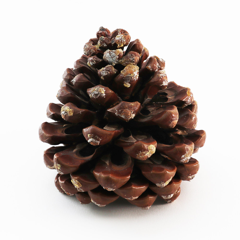 Photography 1853  - PINECONE by Sharon Blake Edgar
